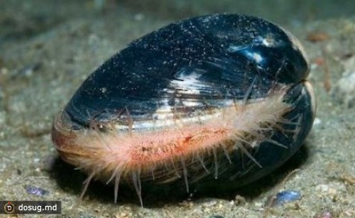 Двустворчатый моллюск вида Arctica islandica – 507 лет