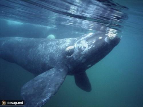 Гренландский кит, 122 года