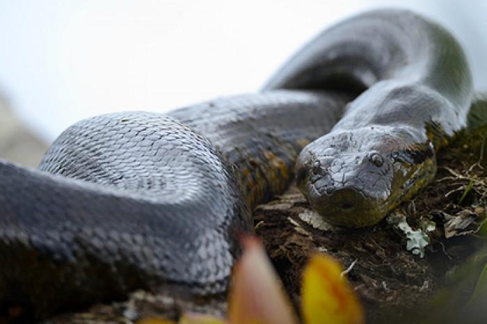 Видео змея анаконда секс мальчиков